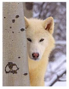 Connu comme le loup blanc !