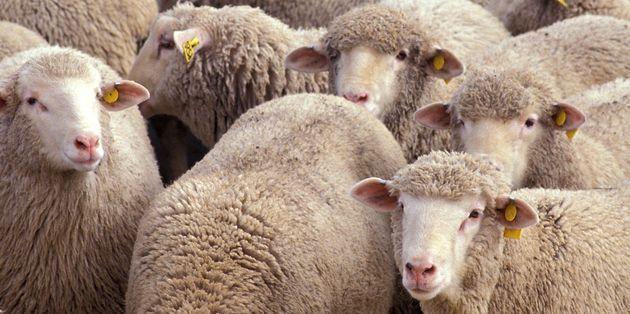 Le marché financier et les moutons de Panurge